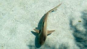 The Bahamas: Young shark swimming slowly. Young shark swimming slowly during a bright sunny day in the Bahamas royalty free stock photos