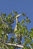 Bahamian Crane in a Tree Stock Images