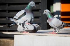 Bahavior accoppiamento del piccione viaggiatore sul sottotetto domestico Fotografia Stock Libera da Diritti