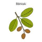 Bahera, or bibhitaki, beleric or bastard myrobalan Terminalia bellirica , medicinal plant Stock Photography