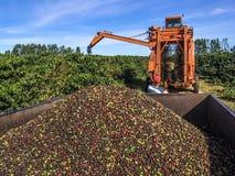 Coffee harvest Stock Image