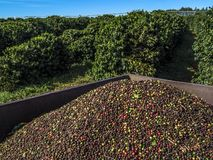 Coffee harvest royalty free stock images