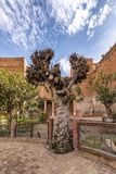 Bahia palace Marrakech gardens, very old pollard willow stands in the nicely raked garden. The sky is clear blue with fast moving clouds Royalty Free Stock Photo