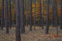 Bahn durch den Herbstwald Stockfotografie