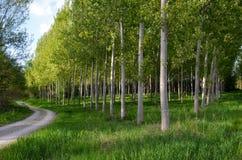 Bahn mit Pappelbäumen Lizenzfreie Stockbilder