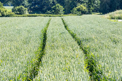 Bahnen auf dem jungen Weizengebiet Lizenzfreie Stockbilder