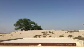 Bahrajn, Manama 25,03,2018 Atrakcja turystyczna w Bahrajn: Drzewo życie zdjęcie wideo