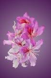 Bahuinia Blakeana blommor Fotografering för Bildbyråer