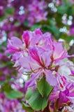 Bahuinia Blakeana blommor Arkivfoto