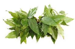 Bai-ya-nang,herb on white. Background Stock Photography