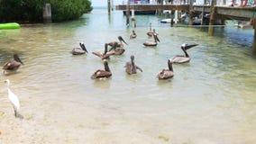 Baia 4k Florida S.U.A. del pellicano di islamorada di giorno di estate stock footage