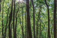 Baia Laurel Forest di California in Mt Umunhum Fotografia Stock Libera da Diritti