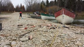 Baia Manitoba del gabbiano fotografia stock libera da diritti