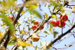 Baia Stuten-Apfelbäume Stockbild