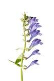 Baicalensis do Scutellaria (Skullcap de Baikal) foto de stock royalty free