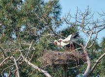 Baie d'Arcachon, France Couples des cigognes blanches dans la r?servation ornithologique de Le Teich photo stock