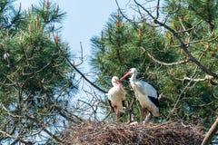 Baie d'Arcachon, France Couples des cigognes blanches dans la r?servation ornithologique de Le Teich photographie stock libre de droits