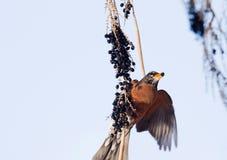 Baie dans le bec de Robin Photographie stock libre de droits