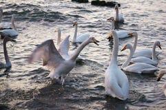 Baie de cygne Photo stock