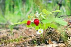 Baie de fraisier commun photos libres de droits