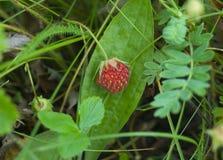 Baie de fraisier commun sauvage Photographie stock