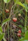 Baie de fraisier commun sauvage Images stock