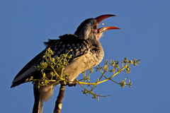 baie de jonglerie Rouge-affichée de hornbill, Namibie Photographie stock