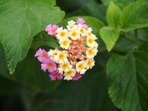 Baie de rose et blanche de lantana de Watsons, NSW Australie photos stock