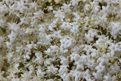 Baie de sureau de fleurs blanches Photos libres de droits