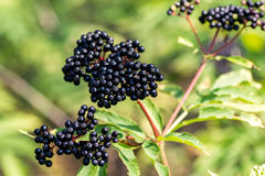 Baie de sureau noire de forêt, arbuste avec des baies Photo libre de droits