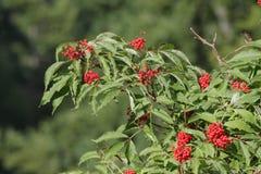 Baie de sureau rouge ou plante rouge-berried d'aîné Image stock