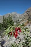 Baie de sureau rouge ou plante rouge-berried d'aîné Photos libres de droits