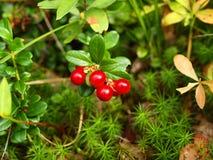 Baie en bois une airelle rouge, la marge karélienne Image libre de droits