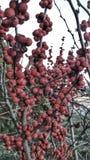 Baie rouge d'hiver Photos libres de droits