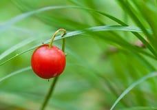 Baie rouge dans l'herbe verte Photographie stock libre de droits