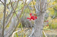 Baies aigres-douces de rouge de buisson images libres de droits