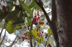 Baies attrayantes de forêt (Monténégro, hiver) images libres de droits