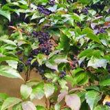 Baies bleu-foncé et feuilles vert clair Photographie stock