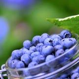 Baies bleues Photo stock