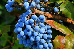 Baies bleues sur la vigne Images libres de droits