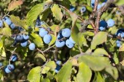 Baies bleues sur le buisson Photos libres de droits