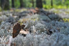 Baies borry de cueillette de promenade de feuille de mousse de pin sec de sphaigne macro Photographie stock