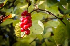 Baies chinoises de vigne de magnolia Images libres de droits