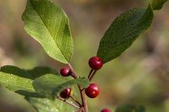 Baies d'airelle rouge s'élevant dans une forêt de pin dans la mousse Photographie stock libre de droits