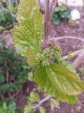 Baies d'arbre de fleur de ressort Photographie stock libre de droits