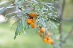 Baies d'argousier dans un arbre Photographie stock libre de droits