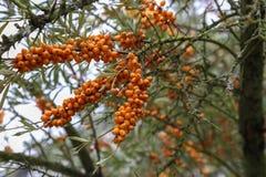 Baies d'argousier sur les branches épineuses des arbustes images stock