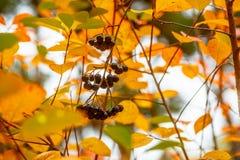 Baies d'Aronia accrochant sur une branche Images stock