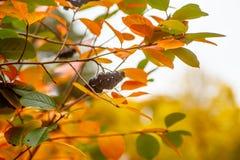 Baies d'Aronia accrochant sur une branche Photographie stock