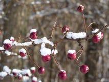 Baies d'aubépine couvertes de neige Baies d'aubépine sur un laevigata de crataegus de branche Image libre de droits